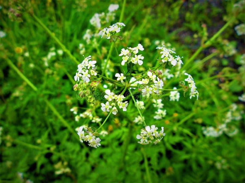 Белые цветки яркие всегда вверх в дне, даже на серые дни стоковое изображение