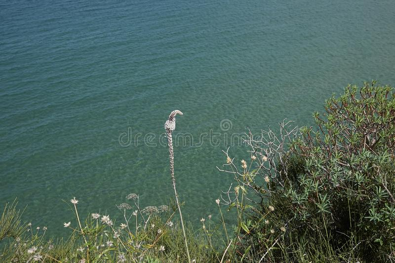 Белые цветки maritima Drimia стоковые изображения rf