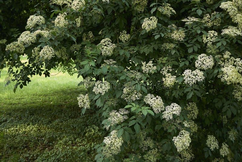 Белые цветки nigra Sambucus стоковое изображение rf