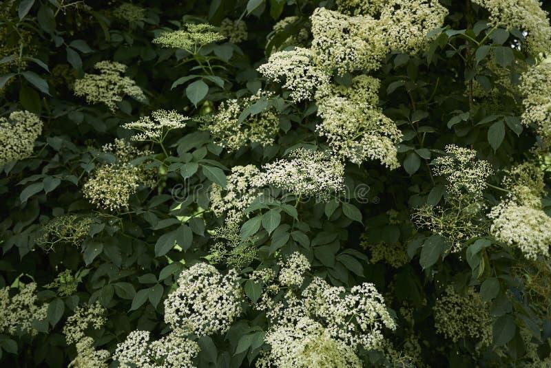 Белые цветки nigra Sambucus стоковые фотографии rf