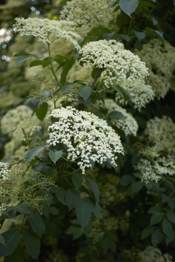 Белые цветки nigra Sambucus стоковая фотография