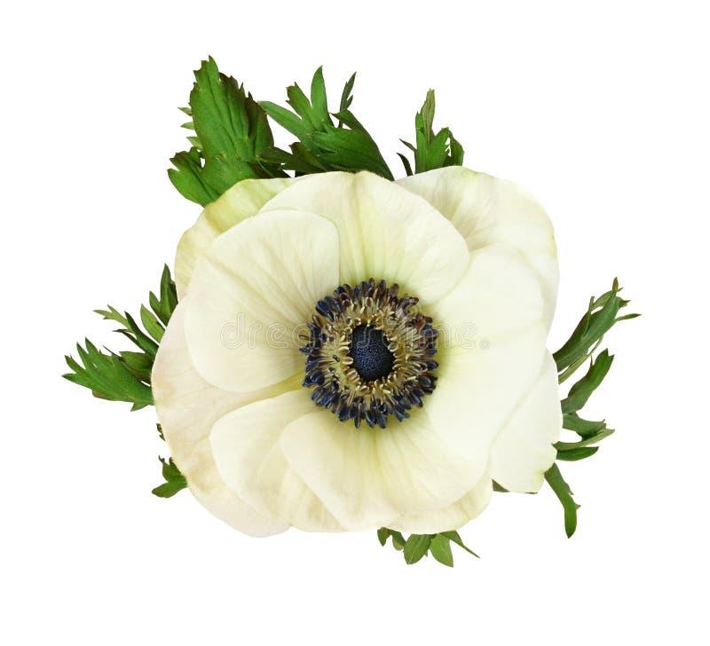 Белые цветок и листья ветреницы стоковые фотографии rf