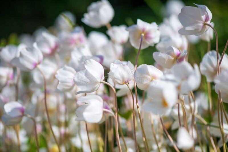 Белые цветок лютика или лютик, селективный фокус стоковые фотографии rf