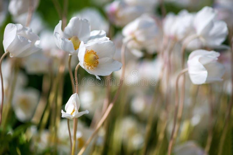 Белые цветок лютика или лютик, селективный фокус стоковое изображение rf