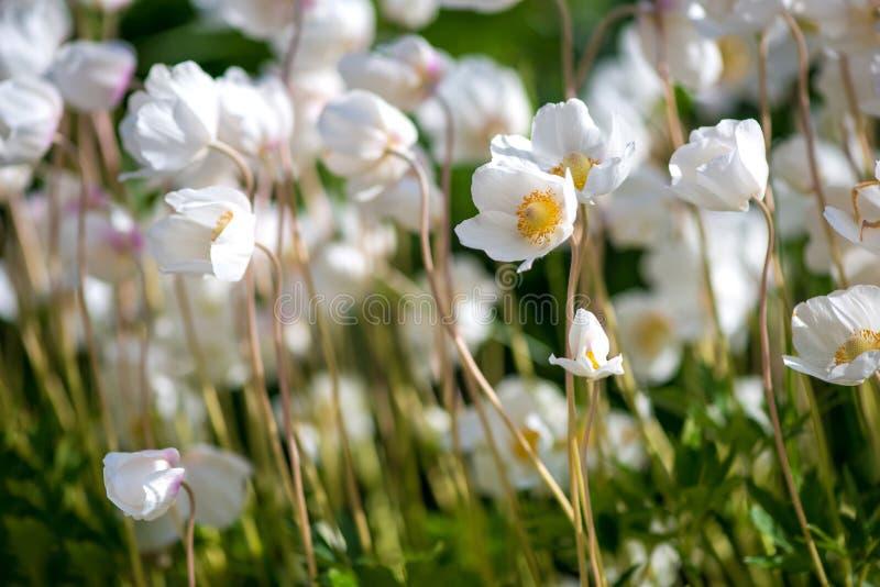 Белые цветок лютика или лютик, селективный фокус стоковое изображение