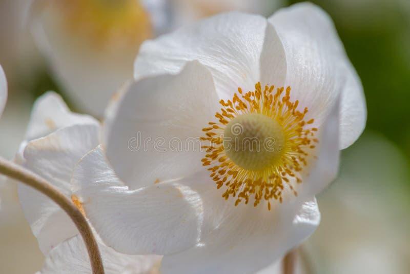 Белые цветок лютика или лютик, селективный фокус стоковая фотография rf