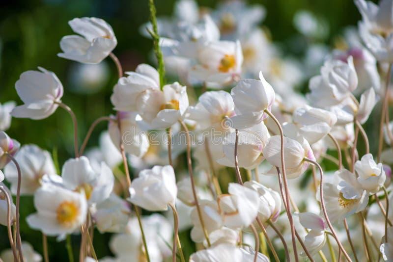 Белые цветок лютика или лютик, селективный фокус стоковые изображения rf