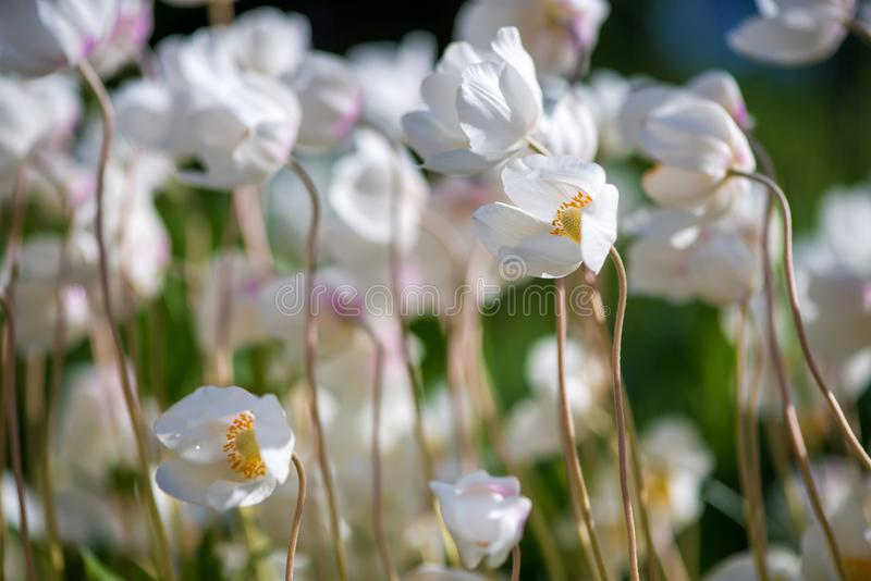 Белые цветок лютика или лютик, селективный фокус стоковые изображения