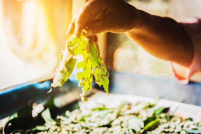 Белые шелкопряды едят листья шелковицы стоковые фотографии rf