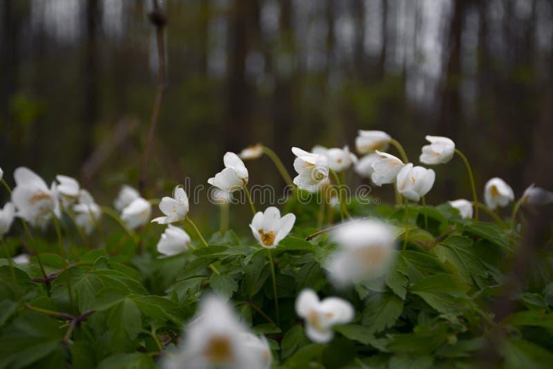 Белые snowdrops в лесе лета стоковое фото