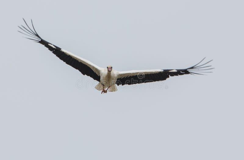 Белый аист в полете стоковая фотография rf