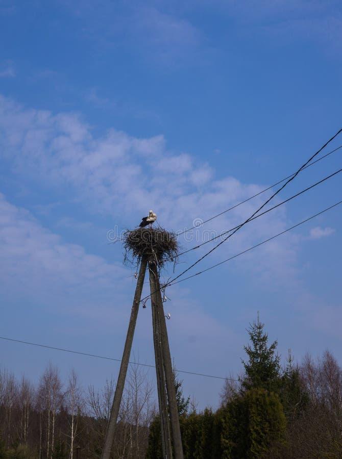 Белый аист стоит в гнезде которое сложено на поляке для проводов стоковое изображение rf