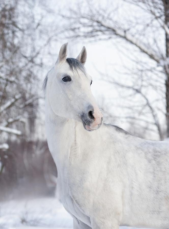 Белый аравийский портрет зимы лошади стоковая фотография