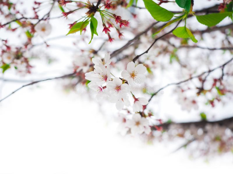 Белый вишневый цвет ( Sakura) зацветает весной для космоса предпосылки или экземпляра для текста стоковые изображения rf