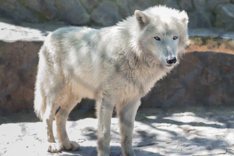 Белый волк - зоопарк Белграда стоковое фото rf