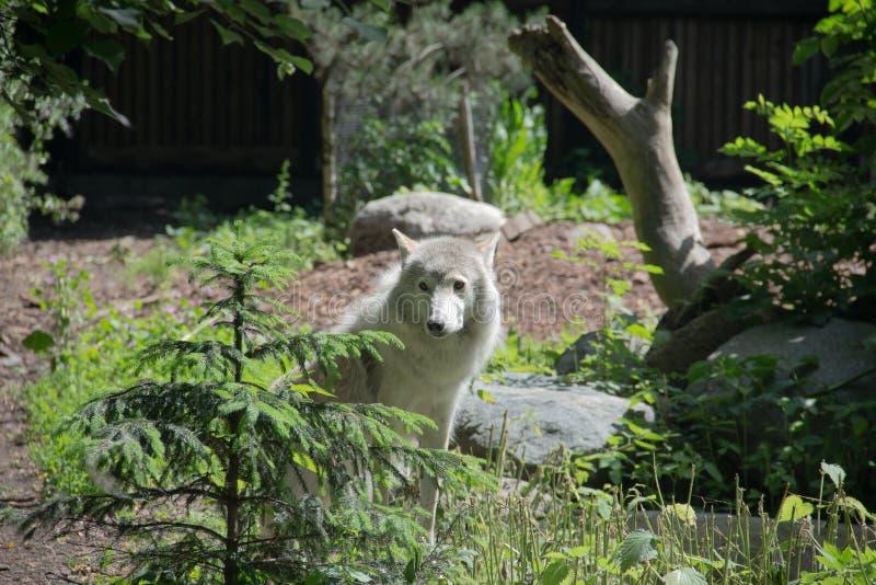 белый волк пришел к краю стоковое изображение