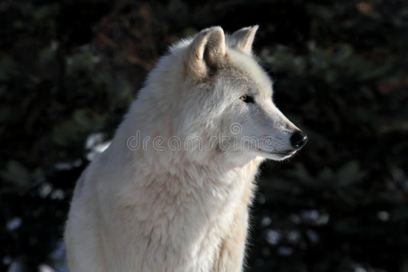 белый волк стоковые изображения rf