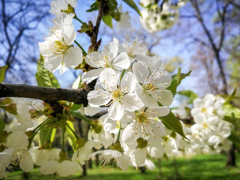 Белый всход макроса цветка дерева стоковые фото