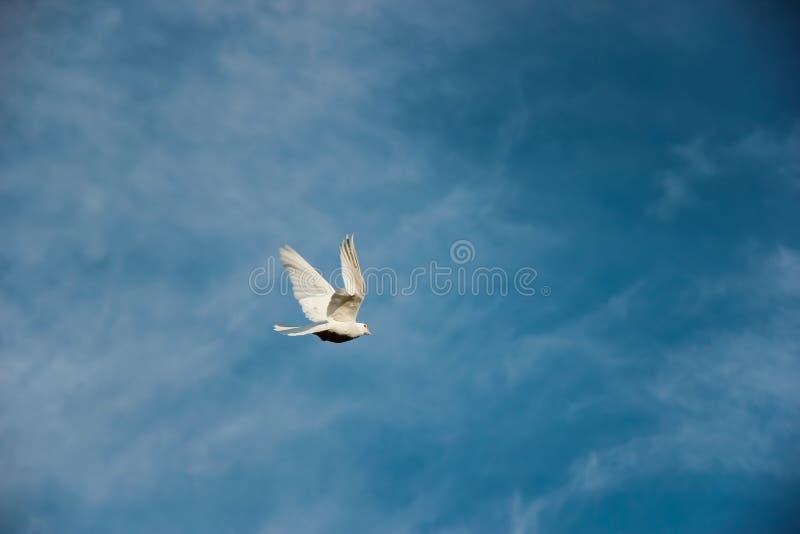 Белый голубь летает на предпосылку голубого неба стоковая фотография rf