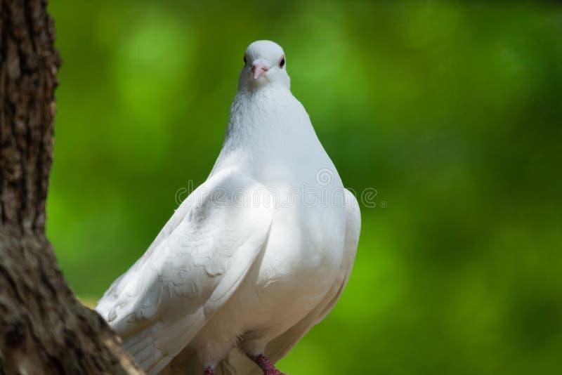 Белый голубь на зеленая концепция Bokeh и свободы и международный день мира стоковая фотография rf