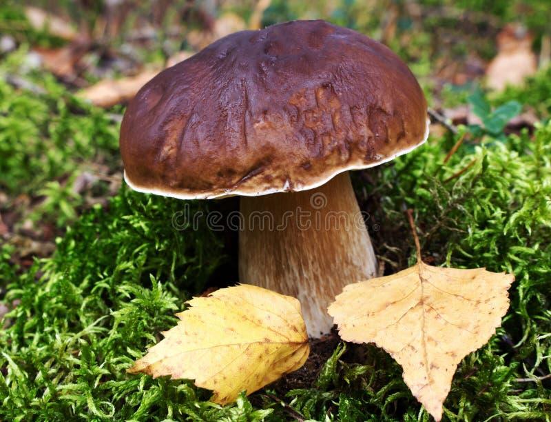 Белый гриб в лесе в осени стоковые фотографии rf