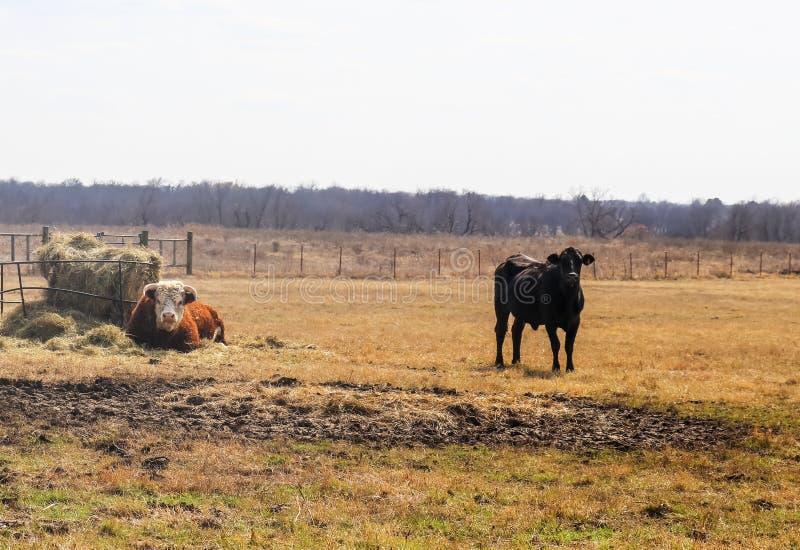 Белый задира hereford стороны кладет кольцом сена в выгоне с черным положением одногодки близрасположенным - туманная запачканная стоковое фото