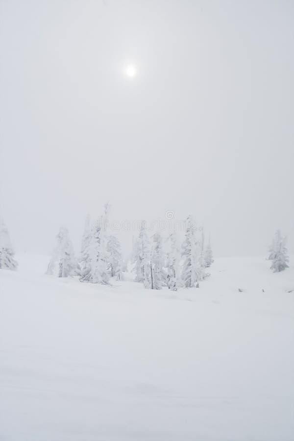 Белый заморозок на маленьких елевых деревьях, поле снега, туманный день стоковое изображение rf
