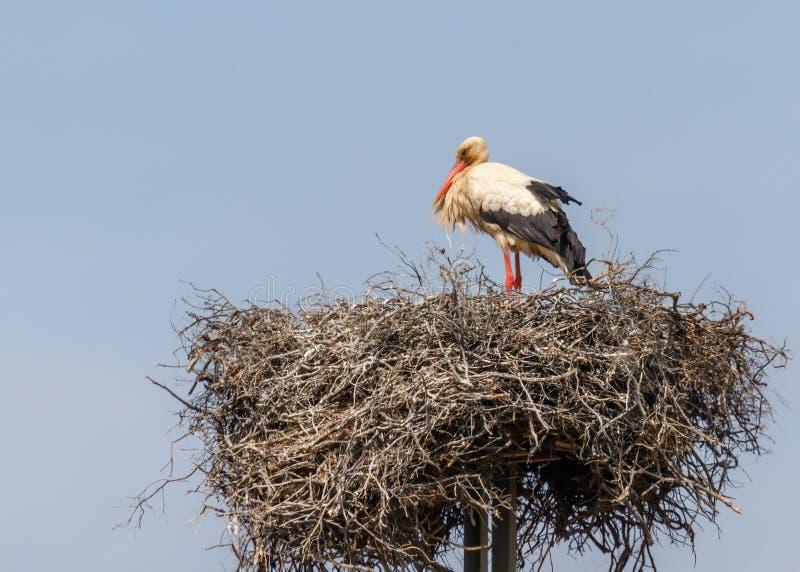 Белый запас на гнезде, Алгарве, Португалии стоковое фото