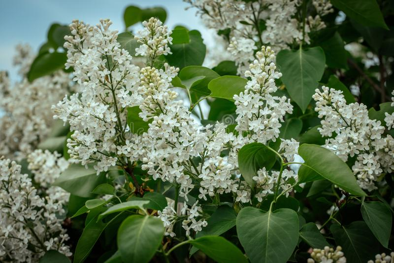 Белый зацветая конец-вверх сирени Красивые белые цветки syringa на зеленой предпосылке Сирень против неба Заводы сада и стоковые изображения