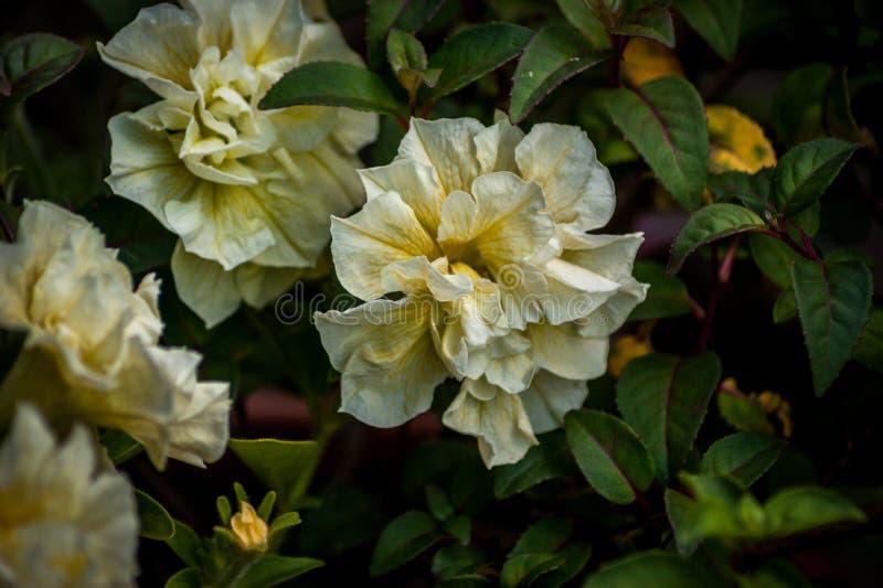 Белый и желтый конец-вверх цветков стоковая фотография