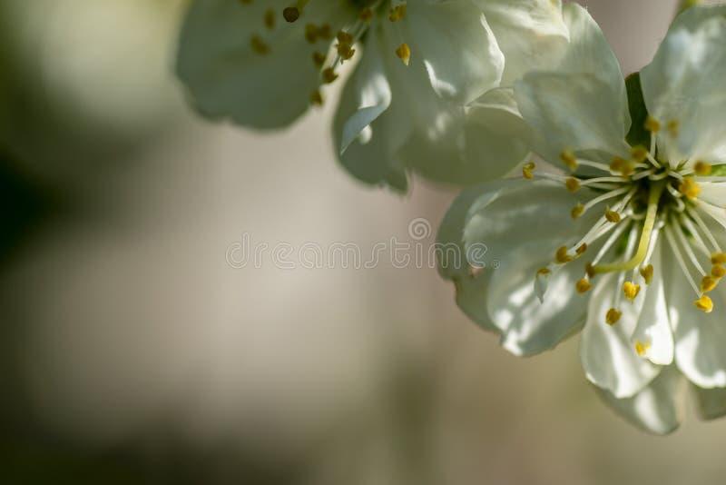 Белый и красивый цвести от фруктовых деревьев стоковая фотография rf