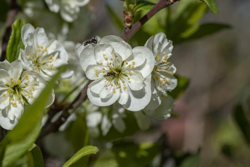 Белый и красивый цвести от фруктовых деревьев стоковое фото rf