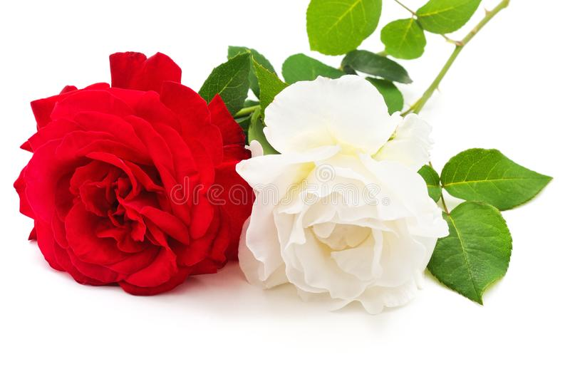 Белый и красная роза стоковая фотография