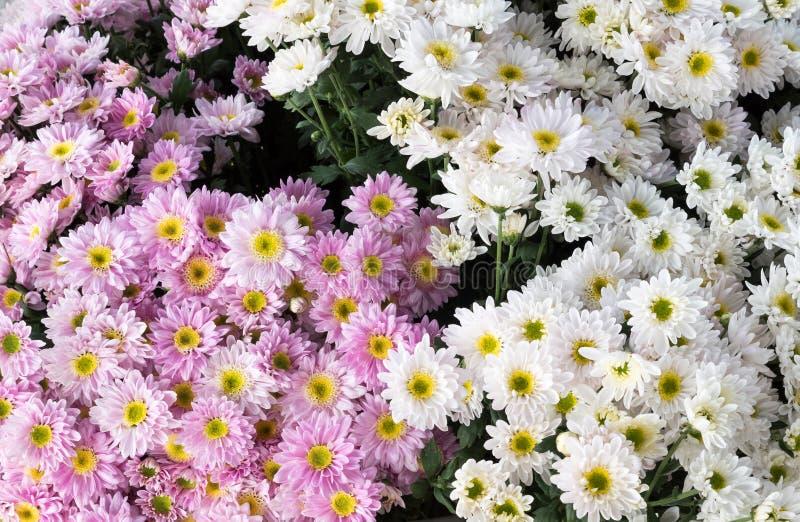 Белый и розовый букет хризантемы стоковое изображение