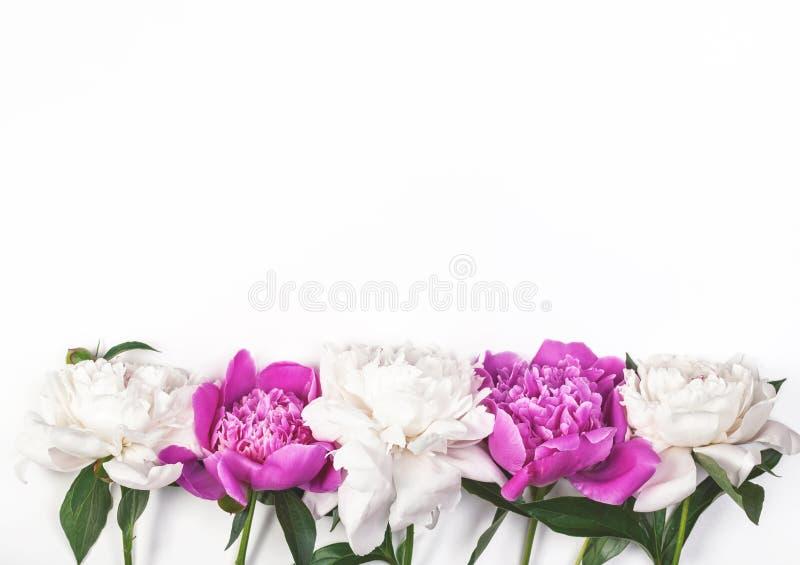 Белый и розовый пион цветет на белой предпосылке Взгляд сверху Плоское положение стоковые фотографии rf