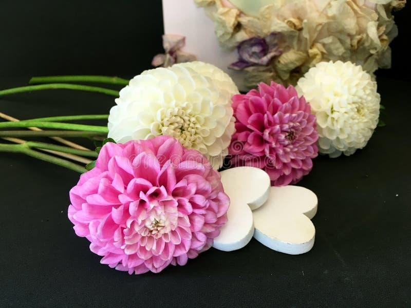 Белый и розовый цветок георгина на черной предпосылке Белый и розовый цветок георгина Белый и розовый изолированный георгин стоковая фотография rf