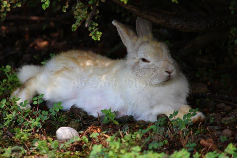 Белый и рыжеватый кролик отдыхая в тени куста стоковое изображение