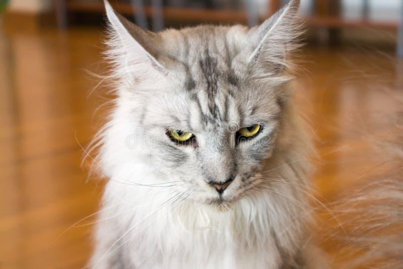Белый и серый кот смотря вас стоковое изображение