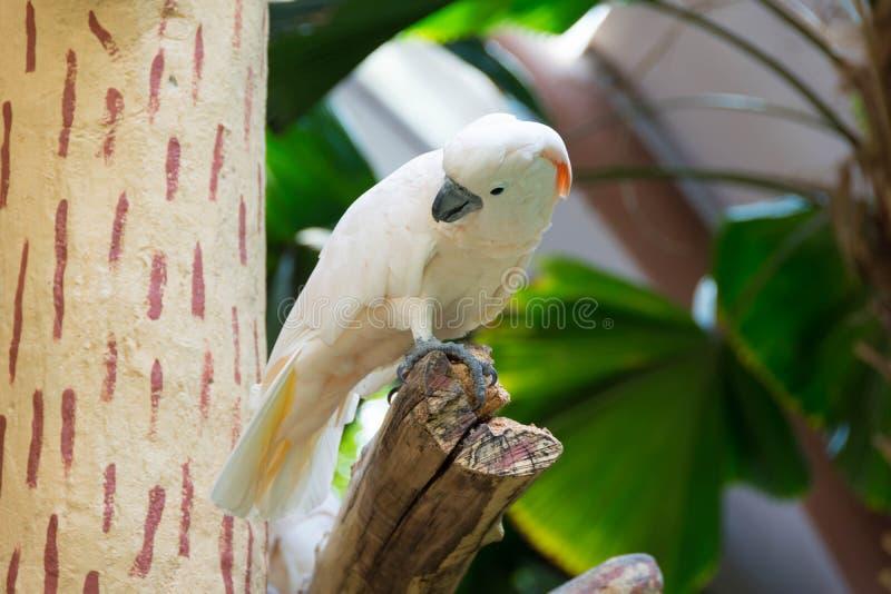 Белый какаду, также известный как какаду зонтика, я стоковые фотографии rf
