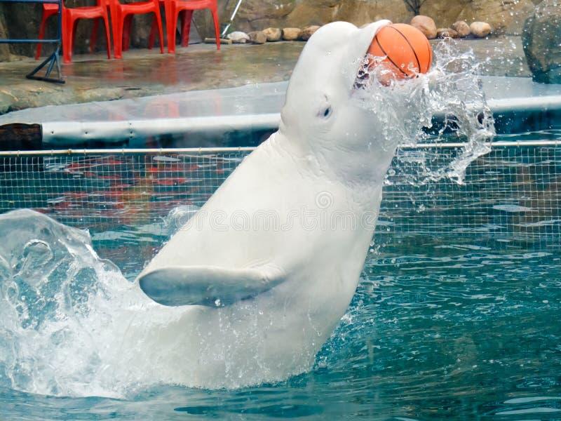 Белый кит в delphinarium стоковые изображения rf