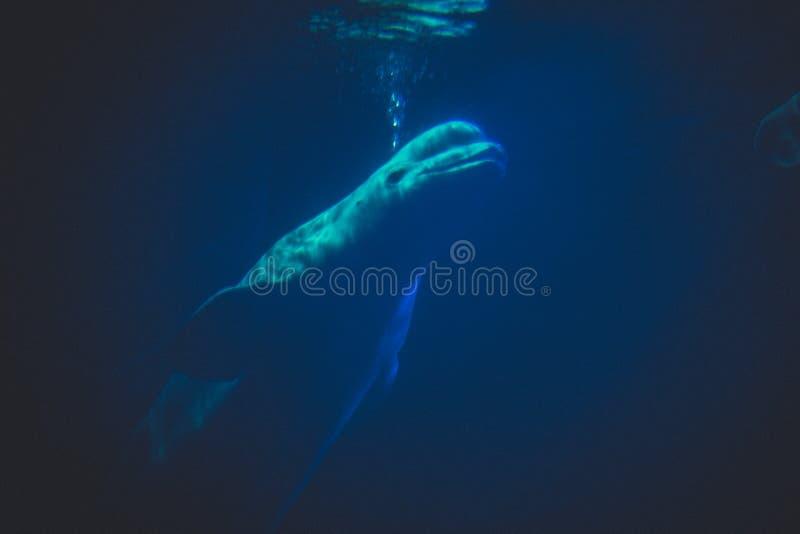 Белый кит стоковая фотография