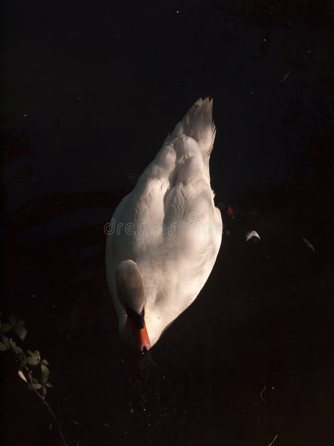 белый конец безгласного лебедя вверх сверху скачет верхняя часть озера стоковое фото rf