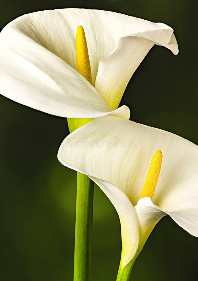 Белый конец лилии Arum вверх стоковые фотографии rf