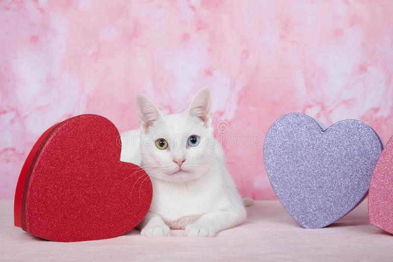 Белый котенок с heterochromia с коробками ` d темы ` s валентинки на пинке стоковое фото rf