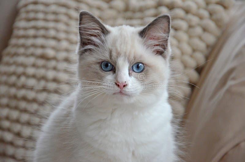 Белый котенок ragdoll стоковое изображение rf