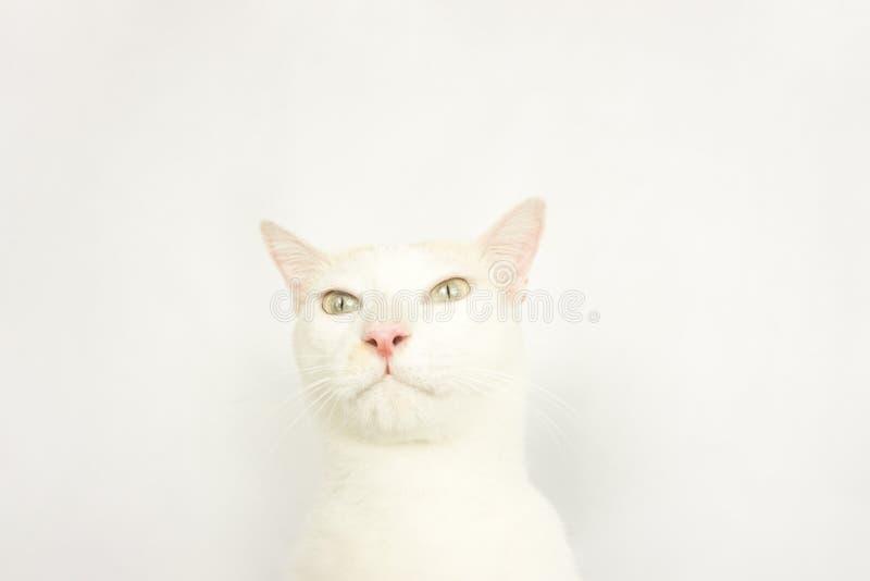 Белый кот с белой предпосылкой стоковое фото rf