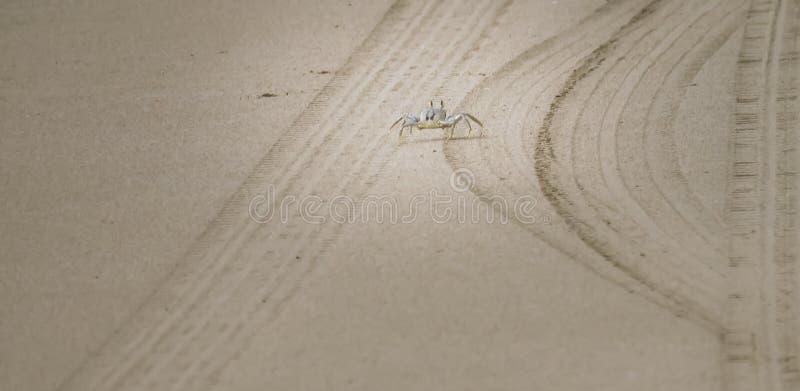 Белый краб идя на песок, Кауаи, Гаваи, США стоковое фото rf