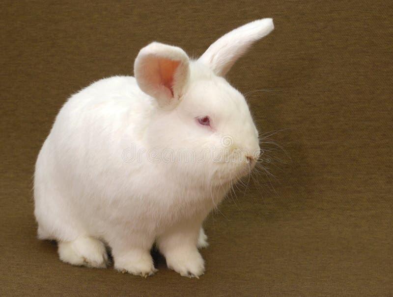 Белый кролик стоковая фотография