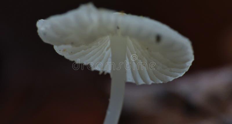 Белый крошечный гриб растя от мертвых упаденных листьев - фотография макроса стоковые изображения
