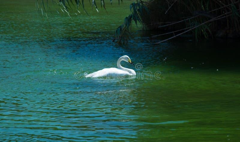 Белый лебедь в Валенсии Испании стоковое фото